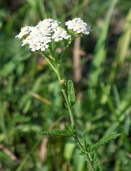 bcabd-achillea_millefolium