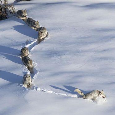 lupi branco