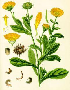 Calendula botanica erbario