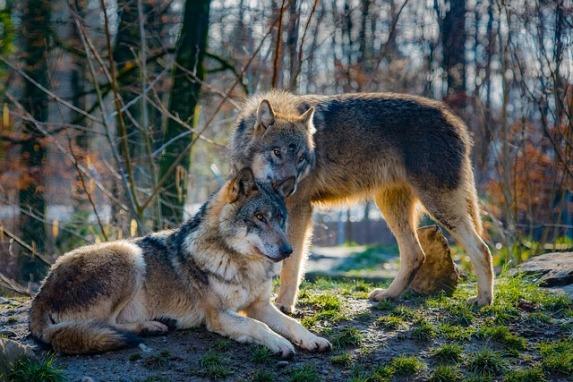 coppia alfa lupi