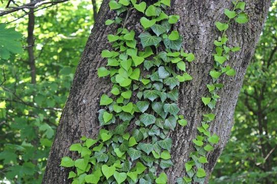 edera albero