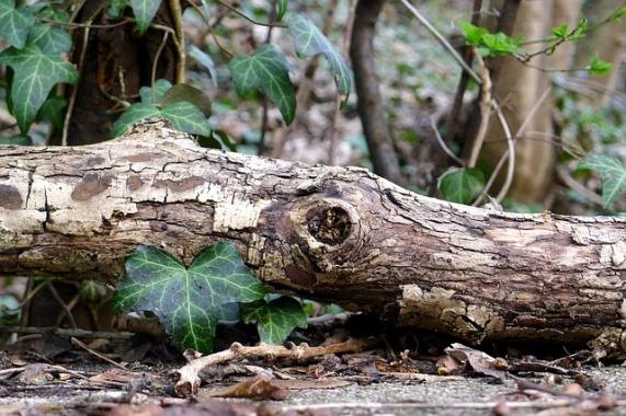 edera albero2