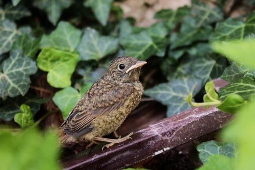 edera uccello