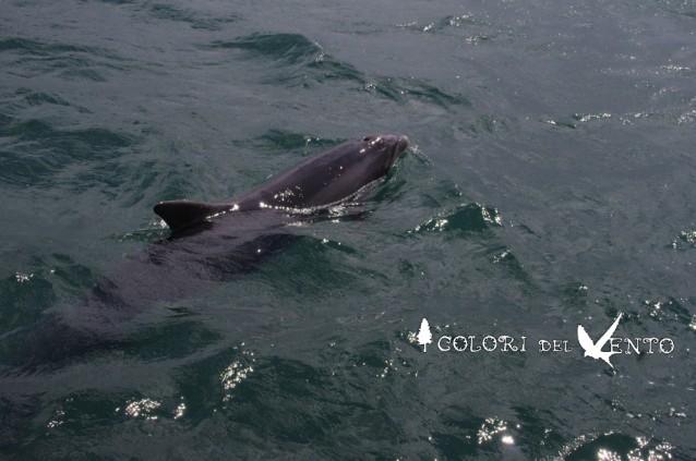 Fungie dolphin Dingle