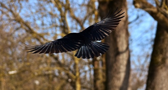 corvo2