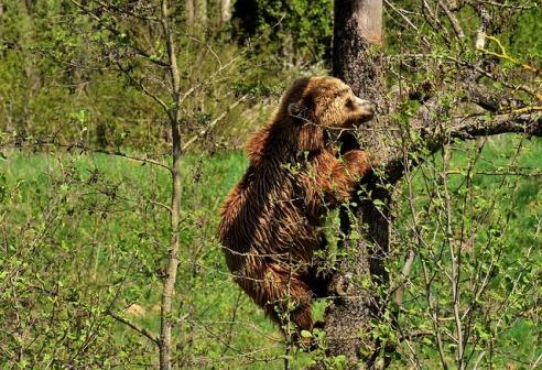 orso albero